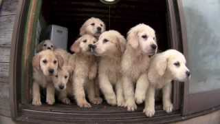 getlinkyoutube.com-犬の牧場 ゴールデンレトリバーの子犬 2013年10月生れ