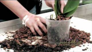 getlinkyoutube.com-Re-Potting your Just Add Ice Orchid