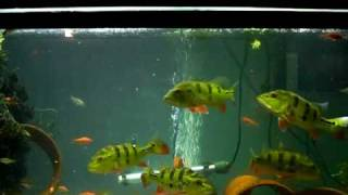 getlinkyoutube.com-Peacock Bass feeding 11/18/08