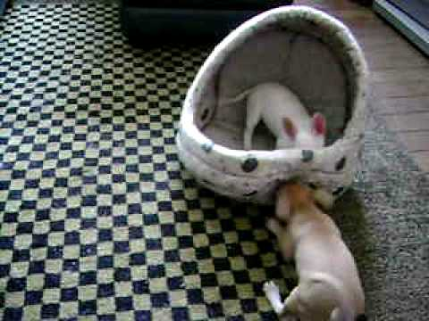 Chihuahua Puppy Fun-Dottie and Joey fun fun fun
