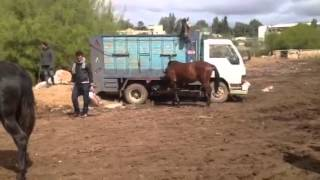 getlinkyoutube.com-Fantasia mantes la jolie .Achat de chevaux à Settat Avril 2012 06 81 83 02 35