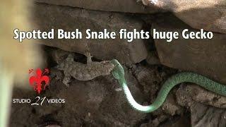getlinkyoutube.com-Spotted Bush Snake fights huge Gecko
