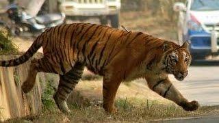 getlinkyoutube.com-Tiger escapes from enclosure Nehru Zoological Park, captured   Hyderabad Zoo,