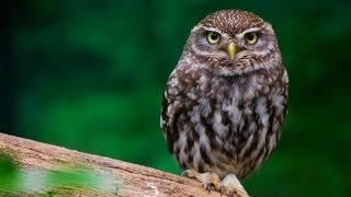getlinkyoutube.com-Little Owl Sounds and Pictures