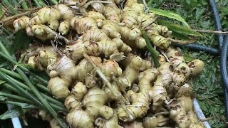 getlinkyoutube.com-Jeff's 2016 Ginger Harvest.