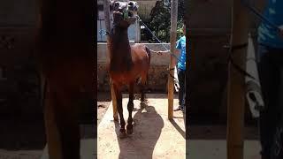 Cara melatih kuda, kuda renggong , kuda sumedang ,