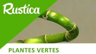getlinkyoutube.com-Cultiver le Lucky bamboo