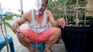 getlinkyoutube.com-การทาบกิ่งมะนาวกับการเสียบข้างมะม่วง พี่นาป๊อกแป๊กสระบุรี