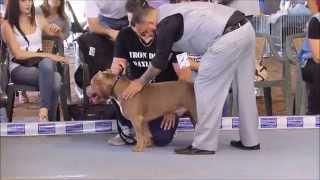 getlinkyoutube.com-AMERICAN BULLY SHOW ABKC Italy 2015 Volta Mantovana Iron Dog