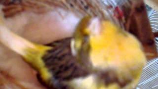 getlinkyoutube.com-كناري ماتت وهي تبيض سبحان اللة