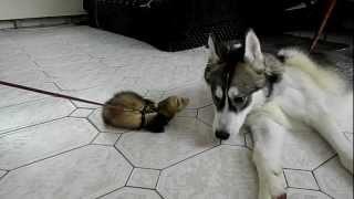 getlinkyoutube.com-Husky talks to ferret 2
