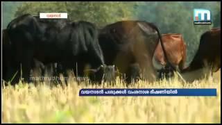 getlinkyoutube.com-Wayanad Dwarf Cow ( വയനാടൻ നാടൻ  പശു )