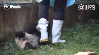 Cute alert! Clingy baby panda gets very attached to rain boot...and just won't let it go