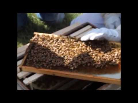 Finding and Marking the Queen Bee
