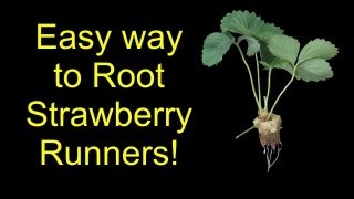 How To Root Strawberries For Hydroponics, Aquaponics, Or Soil - The SleestaksRule Method