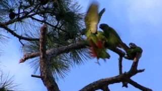 getlinkyoutube.com-Wild Green-Cheeked Conures of South Florida