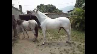 Cruza de Caballo Español con Yegua Peruana / MOV07700
