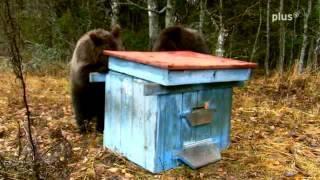 getlinkyoutube.com-Weißrussische Bärenkinder überfallen Bienenstock