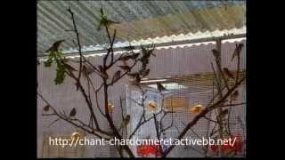 getlinkyoutube.com-Reportage sur la reproduction des chardonnerets ! espagnol complet !!