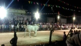 Ongole bulls 1st prized Rebals
