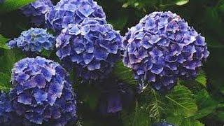 getlinkyoutube.com-Cómo Cultivar de Forma Correcta las Hortensias - TvAgro por Juan Gonzalo Angel