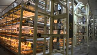 Broiler Cage FIT; Broiler Cage System; Broiler Colony System, Broiler Multi Tier Colony System