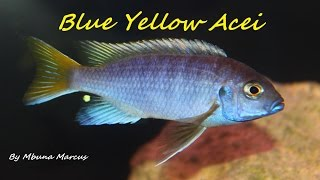 getlinkyoutube.com-PSEUDOTROPHEUS ACEI YELLOW TAIL AFRICAN CICHLID