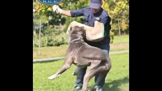 getlinkyoutube.com-Biggest Blue protection trained XL bully Pitbull and Service Dog!! BGK