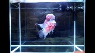 getlinkyoutube.com-Flowerhorn Eating Live Shrimp