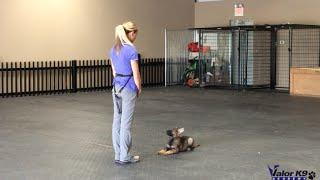 German Shepherd puppy obedience training | 9 weeks old | Valor K9 Academy, LLC