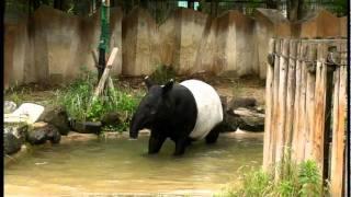 マレーバク走る!Asian tapir Run!