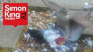 getlinkyoutube.com-Sparrowhawk Attacks a Pigeon - Eats it Alive (High Quality)