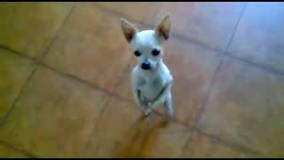 getlinkyoutube.com-Dog Dancing Rumba Flamenca, Very Funny