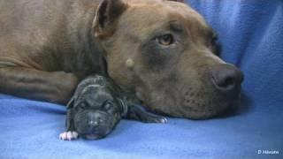 getlinkyoutube.com-Mia's 1st Pit Bull Puppy (in HD)