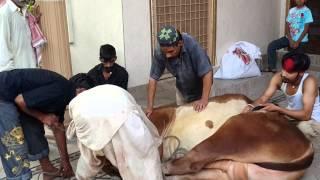 getlinkyoutube.com-Ahsan sheikh cow qurbani video lahore 2014