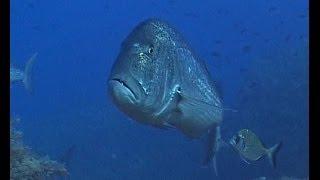 getlinkyoutube.com-Pescasub:Catture profonde-deep spearfishing in CW