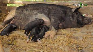 getlinkyoutube.com-อาหารบันดาลใจ : เลี้ยงหมูดำเหมยซาน พลิกฟื้นผืนแผ่นดินบ้านเกิด 13 มี.ค.58 (2/3)