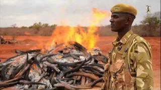 getlinkyoutube.com-Ivory Burning Official Ceremony, Kenya, July 2011