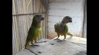 getlinkyoutube.com-loro bailando el serrucho