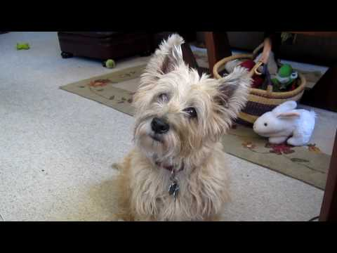 The Cairn Terrier Chronicles - Pavlov Curious About Somethin