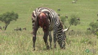 getlinkyoutube.com-Zebras: Nature's Ultimate Prey - Horrifying Planet - Ep. 1