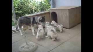 getlinkyoutube.com-Sweetest husky puppies ever