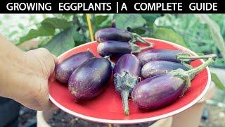 getlinkyoutube.com-How to Grow Eggplants - The Complete Guide