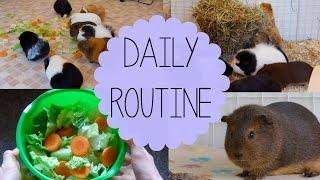 getlinkyoutube.com-Daily Guinea Pig Routine | Spring 2015