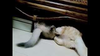 getlinkyoutube.com-Real Cat Fight猫のすさまじい喧嘩2 アメショー♀VS子猫ソマリ♂