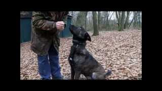 getlinkyoutube.com-Dutch Shepherd Tygo KNPV training in Holland