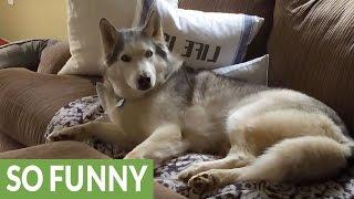 getlinkyoutube.com-6 Huskies Guaranteed To Make You Laugh