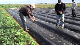 getlinkyoutube.com-Planting Tomatoes