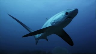 Thresher Sharks Kill Prey With Tail Like A Whip   SHARK WEEK