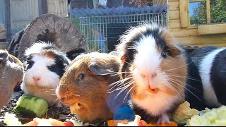 getlinkyoutube.com-Guinea Pig Appreciation Day!